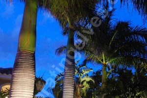 Uplighting-Royal-Palm--www